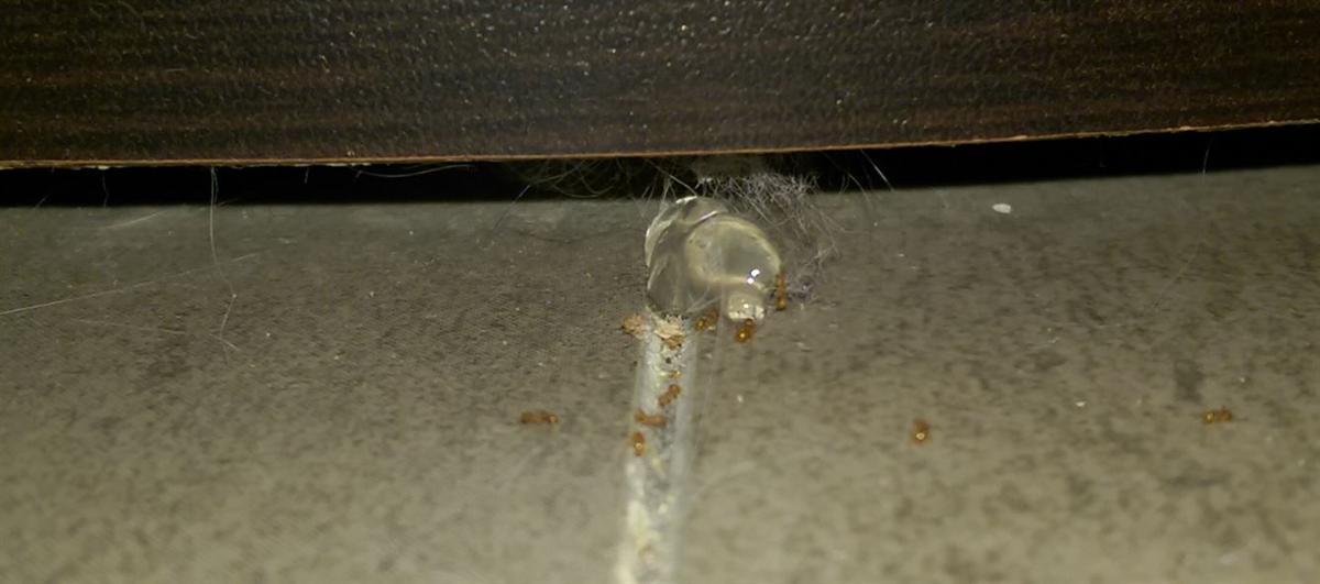 טיפול בנמלת האש באמצעות פתיון ג'ל